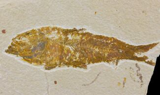 Knightia eocaena  - Fossils For Sale - #150609