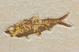 "4.6"" Fossil Fish (Knightia) - Wyoming - Green River For Sale, #150677"