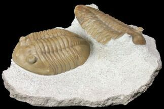 "Buy 2.2"" Asaphus Lepidurus Trilobite With Molting Carapace - Russia - #151891"