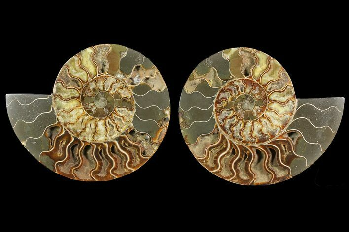 "Bargain, 9"" Cut & Polished Ammonite Fossil (Pair) - Madagascar"