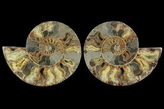 Cleoniceras - Fossils For Sale - #148068