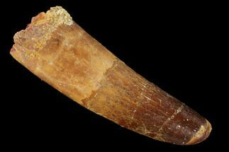 "2.32"" Spinosaurus Tooth - Feeding Worn Tip For Sale, #154022"