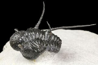 "Huge, 2"" Cyphaspis Trilobite - Ofaten, Morocco For Sale, #154292"