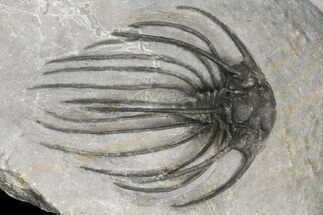 Heliopeltis johnsoni - Fossils For Sale - #154296