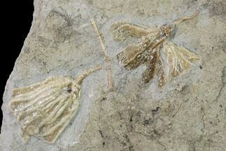 Buy Three Species of Fossil Crinoids - Gilmore City, Iowa - #157222