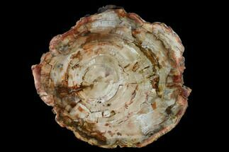 "Buy 9.9"" Petrified Wood (Araucaria) Round - Madagascar  - #157786"