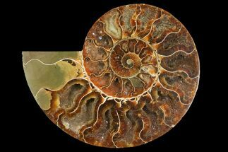 Cleoniceras - Fossils For Sale - #158034