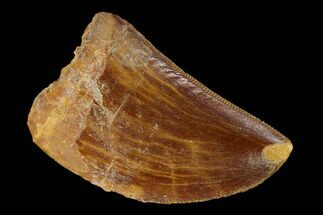 "1.37"" Serrated, Carcharodontosaurus Tooth - Real Dinosaur Tooth For Sale, #156878"