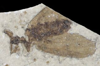 ".5"" Fossil March Fly (Plecia) - Green River Formation For Sale, #154529"