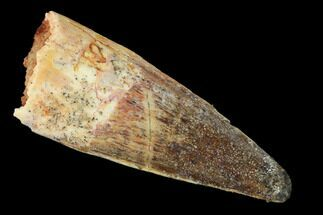 "1.64"" Spinosaurus Tooth - Real Dinosaur Tooth For Sale, #159338"