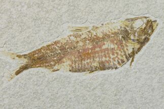 "Buy 4.2"" Fossil Fish (Knightia) - Wyoming - #159532"