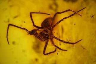 Buy Detailed Fossil Spider (Araneae) in Baltic Amber - #159784