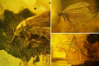Three Fossil Caddisflies and Two Flies in Baltic Amber For Sale, #159800