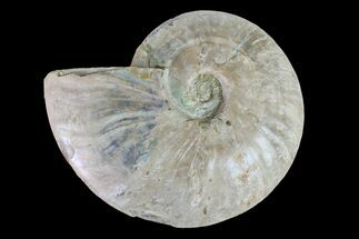 "Buy 6.4"" Silver Iridescent Ammonite (Cleoniceras) Fossil - Madagascar - #157183"