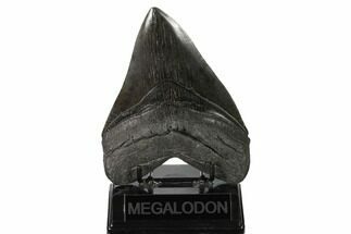 "Buy Huge, 5.73"" Fossil Megalodon Tooth - South Carolina - #160252"