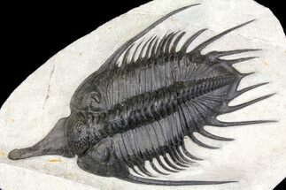 Psychopyge elegans - Fossils For Sale - #160890