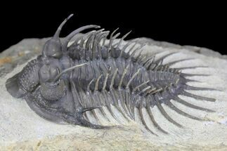 "2.35"" Spiny Comura Trilobite - Oufaten, Morocco For Sale, #160895"