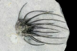 "2.15"" Very Rare, Spiny Heliopeltis Trilobite - Issoumour, Morocco For Sale, #161102"
