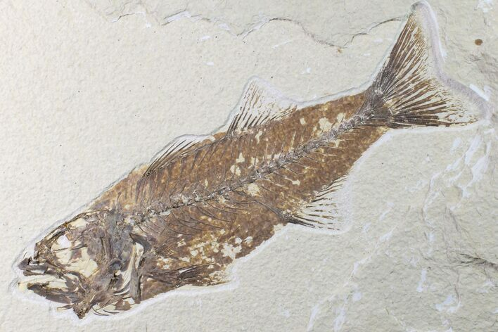 "8.2"" Fossil Fish (Mioplosus) - Uncommon Species"
