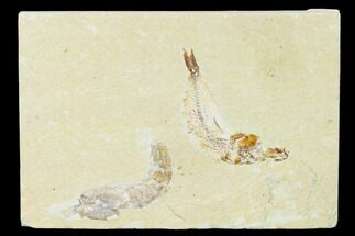 "2.5"" Cretaceous Fossil Fish (Gaudryella) and Shrimp - Lebanon For Sale, #162794"