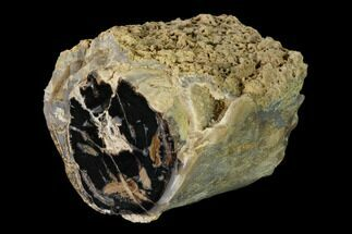 "4"" Wide Petrified Wood (Schinoxylon) Limb - Blue Forest, Wyoming For Sale, #162935"