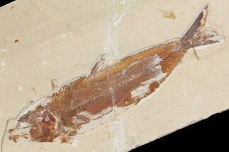 "7"" Cretaceous Fossil Fish (Osmeroides) - Hakel, Lebanon For Sale, #163091"