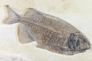 "10.9"" Beautiful Fossil Fish (Phareodus) - Wyoming For Sale, #163415"