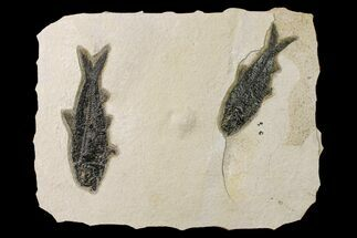 Buy Two Detailed Fossil Fish (Knightia) - Wyoming - #163441