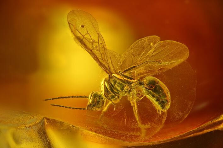 Detailed Fossil Wasp (Hymenoptera) In Baltic Amber