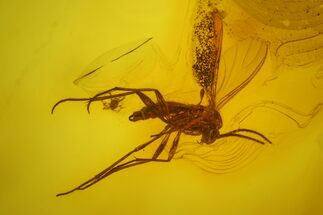 Fossil Fly (Diptera) and a Mite (Acari) in Baltic Amber For Sale, #163535