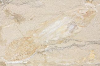 Macropomoides orientalis - Fossils For Sale - #163545