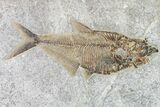 "9.3"" Fossil Fish (Diplomystus) With Large Knightia - Wyoming - #163516-1"