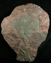 Spectacular 14 Inch Moroccan Crinoid For Sale, #1835