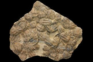 Undescribed Asaphid - Fossils For Sale - #164745