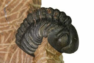 "1.3"" Reedops Trilobite With Nice Eyes - Lghaft , Morocco For Sale, #164636"