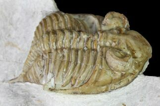 Huntonia huntonensis  - Fossils For Sale - #164448