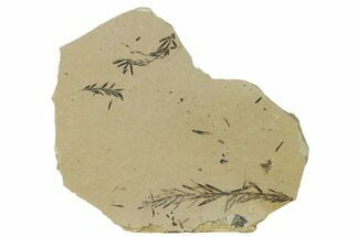 Metasequoia (Dawn Redwood) - Fossils For Sale - #165252