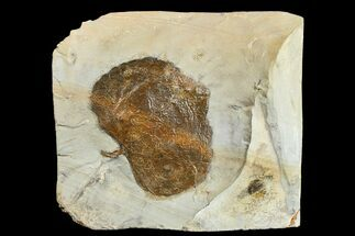 "Buy 2.4"" Fossil Leaf (Zizyphoides) - Montana - #165034"