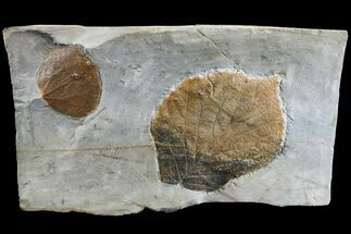 Two Fossil Leaves (Zizyphoides & Beringiaphyllum) - Montana For Sale, #165008