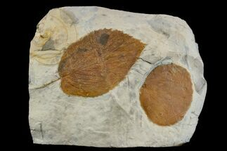 Buy Two Fossil Leaves (Zizyphoides & Beringiaphyllum) - Montana - #165019