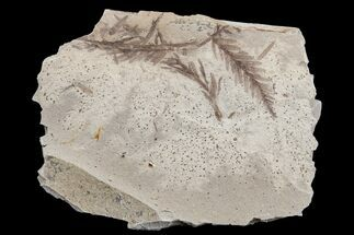 Dawn Redwood (Metasequoia) Fossils - Montana For Sale, #165179