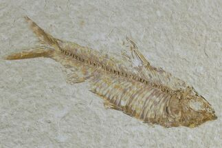 "3.7"" Detailed Fossil Fish (Knightia) - Wyoming For Sale, #165866"