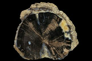 Schinoxylon sp. - Fossils For Sale - #166053