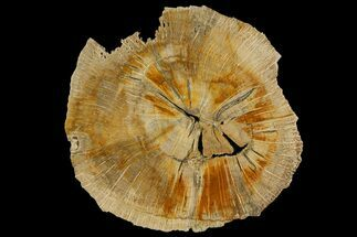 Quercus sp. - Fossils For Sale - #166416