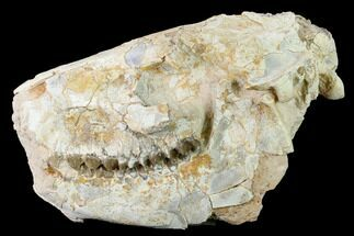 "8.6"" Fossil Oreodont (Merycoidodon) Skull - Wyoming For Sale, #169160"