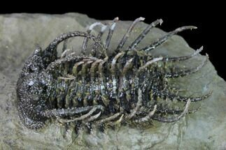 "Buy 1.7"" Super Spiny Koneprusia Trilobite - Spectacular Preparation! - #169639"