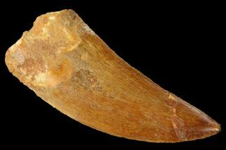 "2.64"" Serrated, Carcharodontosaurus Tooth - Real Dinosaur Tooth For Sale, #169688"