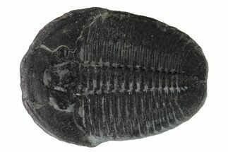 Elrathia kingii - Fossils For Sale - #169500