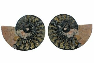 "Buy 7.4"" Cut/Polished Ammonite Fossil (Pair) - Unusual Black Color - #169699"