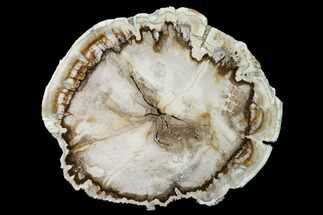 "7.6"" Polished, Petrified Wood (Mansonia?) Round - Myanmar For Sale, #171968"